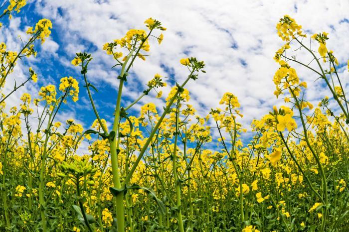 黄金色の花の象徴