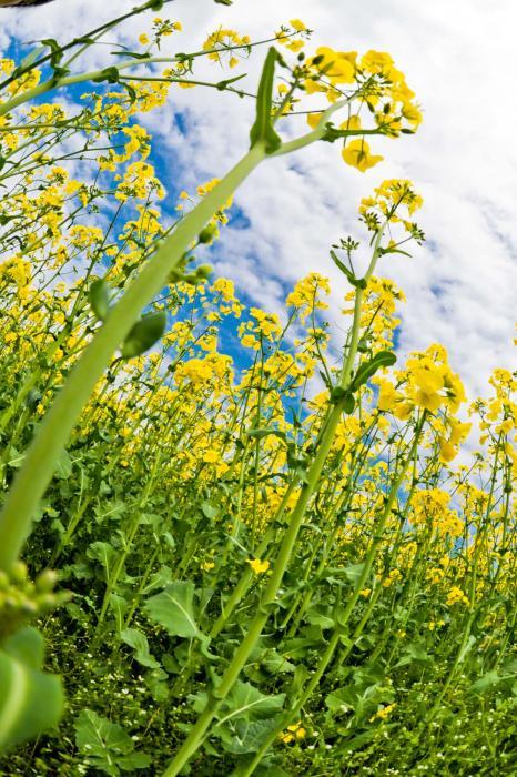 黄金色の花は財産の象徴