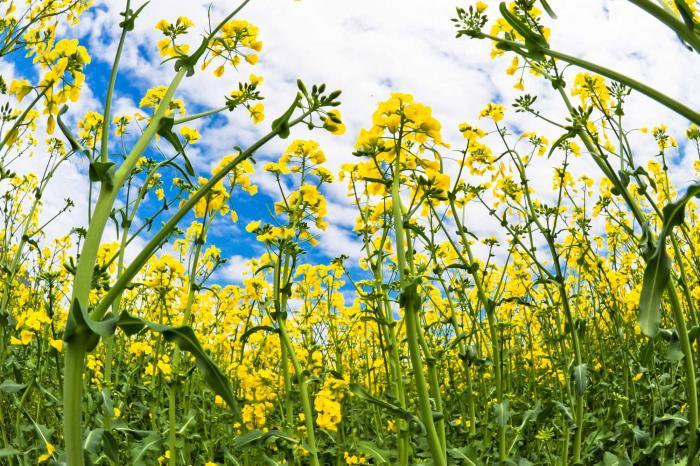 ゴールドをイメージする菜の花