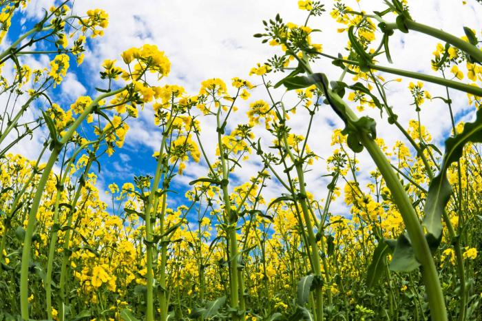 ゴールド色の菜の花