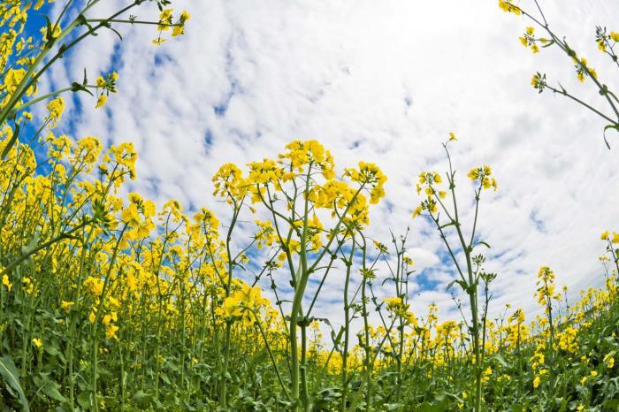 菜の花のフリー画像