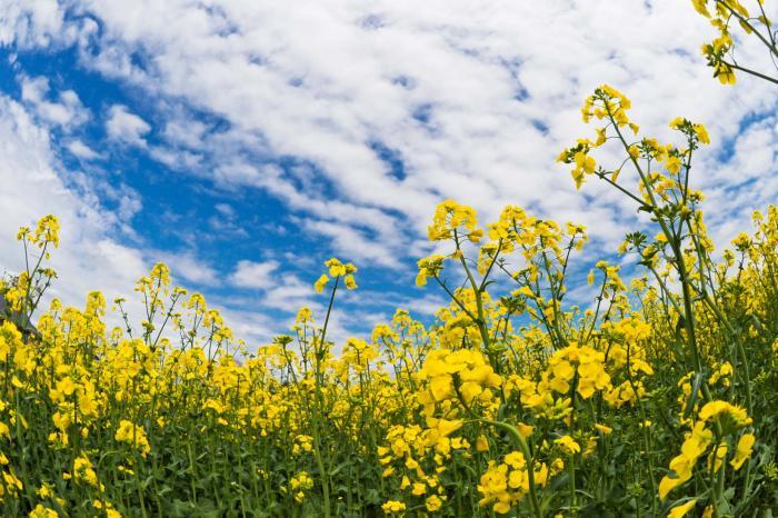 菜の花の無料画像