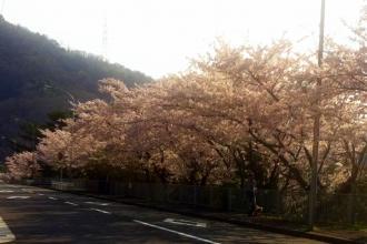 桜4_convert_20120412092152