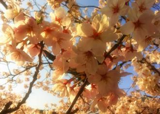 桜3_convert_20120416084002