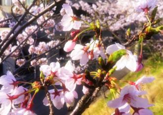 桜1_convert_20120416083906