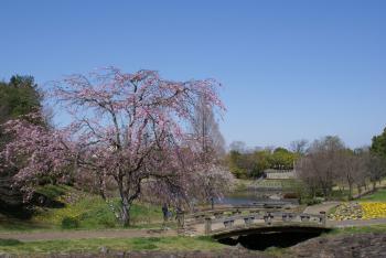 七井戸公園桜
