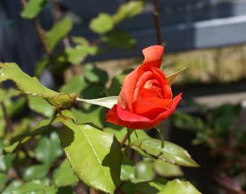 バラ オレンジ