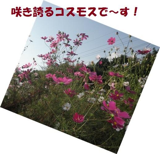 咲き誇るコスモス!