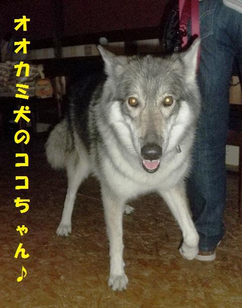 オオカミ犬のココちゃん