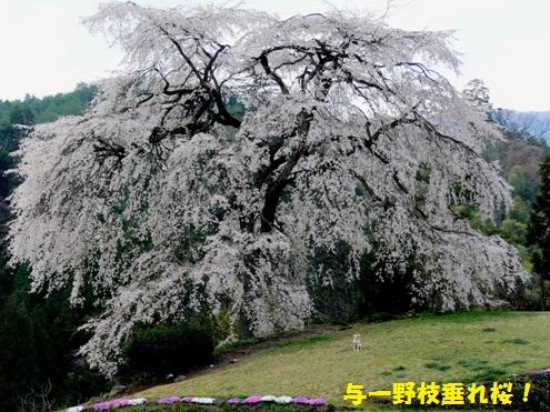 与一野しだれ桜①