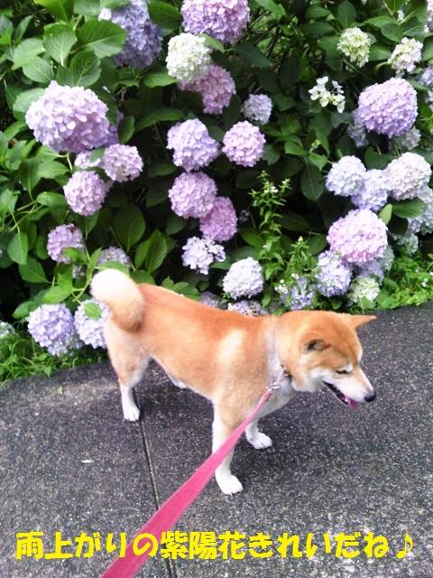 紫陽花です!