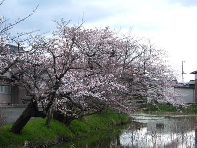 下新穂公民館の桜