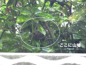 山鳩のヒナ