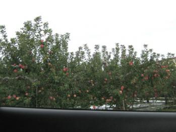 車窓からリンゴ畑