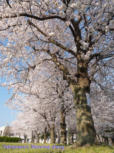あずま総合運動公園の桜