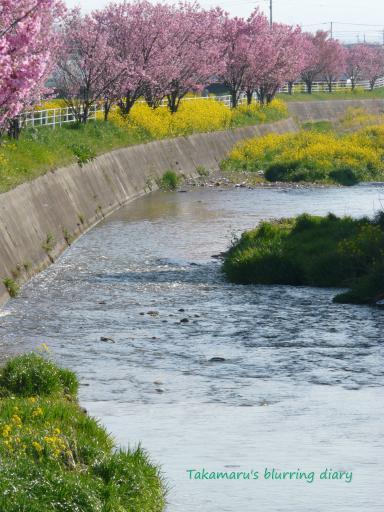 早川に咲く桃と菜の花