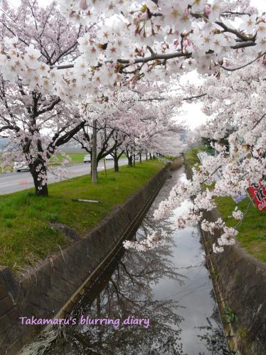 太田市上強戸(かみごうど)町の桜並木(4月10日)