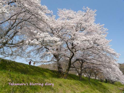 太田市 菅塩沼の桜(4月11日)