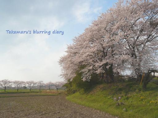 太田市上強戸(かみごうど)町 民家にあるとは思えない立派な桜(4月10日)