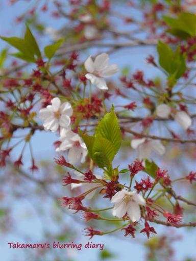 ピンボケの・・・じゃなくて風に揺れる桜
