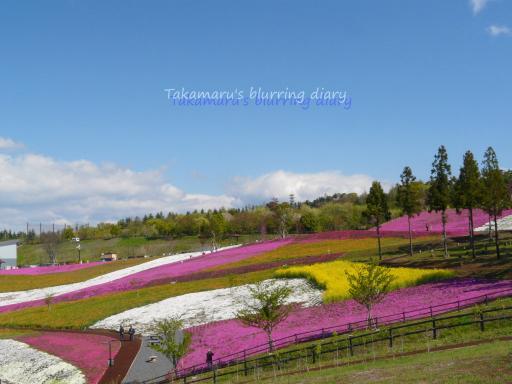 太田北部運動公園の芝桜(4月24日)