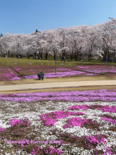 赤城千本桜と芝桜