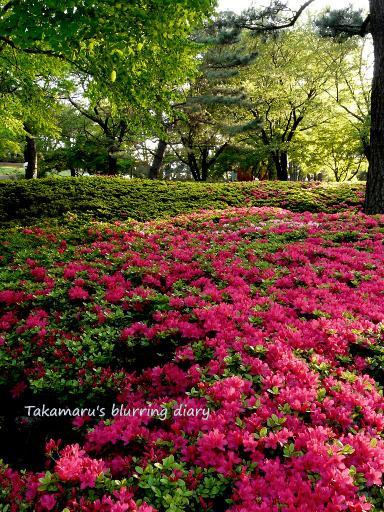華蔵寺公園のツツジ