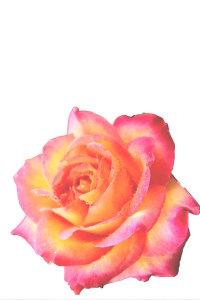花弁だけを切り取った画像