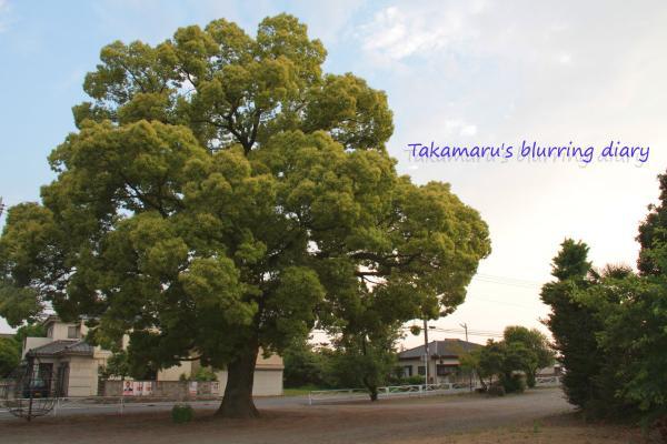 立派な木です