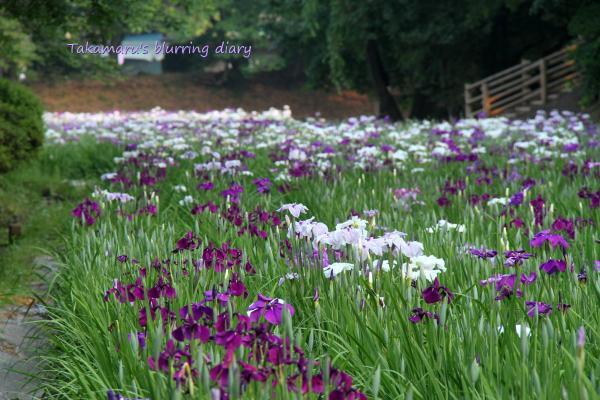 菖蒲園を広く撮るのは、ムズカシイ・・・