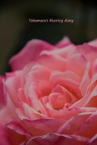 今年春のバラは、これで最後かな・・・
