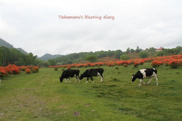 どこにも牛いねぇなぁと思ってたら夕方出てきました。