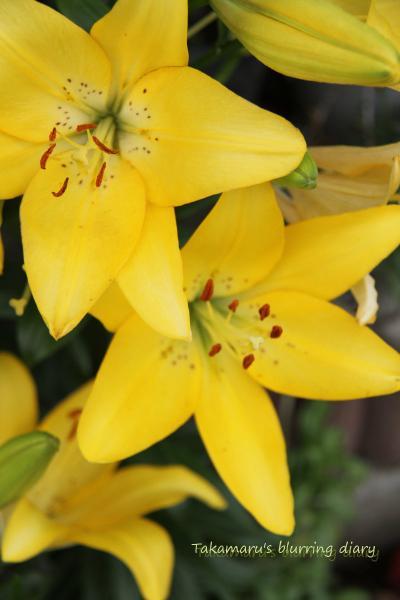 花言葉:黄色の場合「甘美」