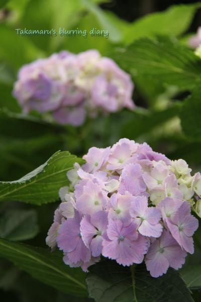 咲き始めはピンクで、徐々に青くなる不思議アジサイ