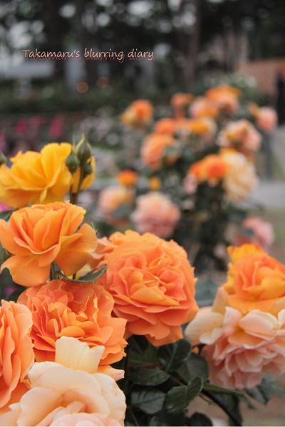 バラっぽくない色のバラその1