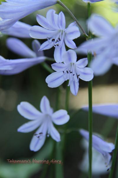 小さいけどキレイは花です、白もあります