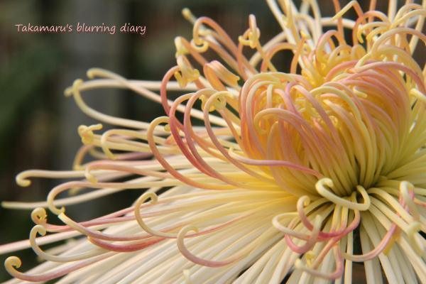 白い菊の花言葉:「誠実」「真実」