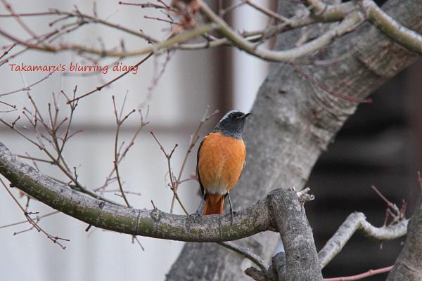 冬にだけ見られる鳥らしい