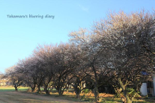 咲き始めは早かったのですが、その後がゆっくりですね