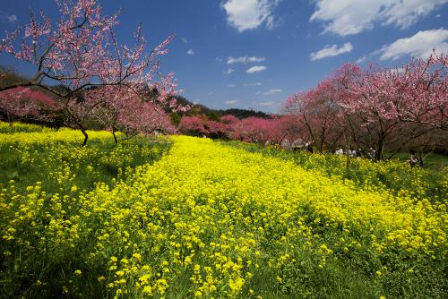 菊桃の丘ー2