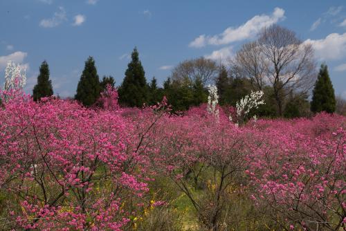 菊桃の丘ー1