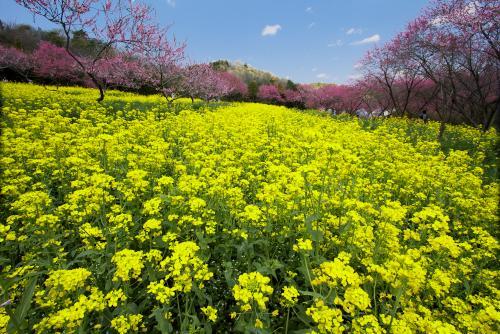 菊桃の丘ー3