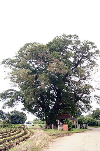 140915茨城 北山の欅①