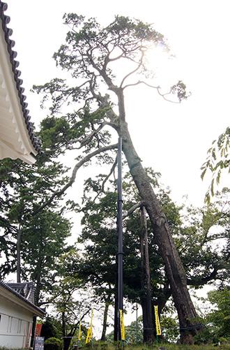 141012神奈川 小田原城松①