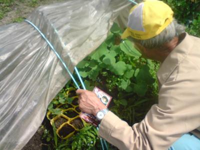 かぼちゃ苗栽培