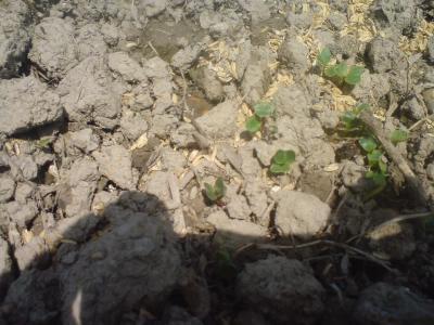 ラディッシュの芽