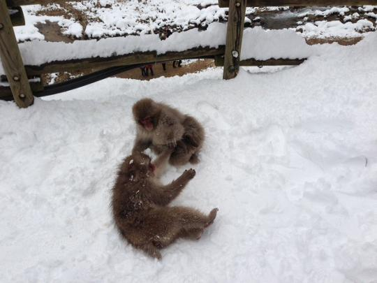 スノーモンキー snowmonkey