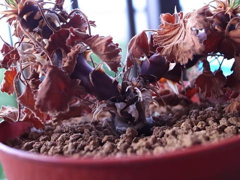 20110923_Pelargonium stipulaceum_1