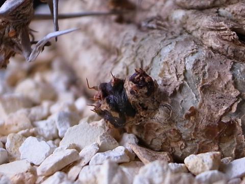 20110924_Euphorbia sp. aff. actinoclada_3