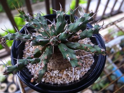 20110924_Euphorbia sp. aff. actinoclada_1